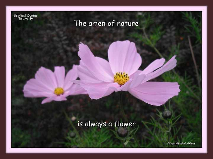 The Amen of nature is always a flower, quote on photo of pink cosmos flowers