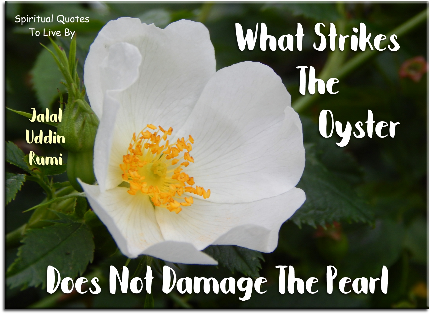 Jalal Uddin Rumi quote: What strikes the oyster does not damage the pearl. - Spiritual Quotes To Live By
